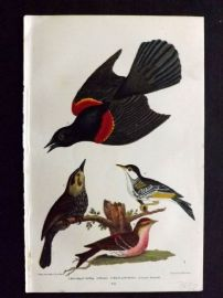 Alexander Wilson 1877 Bird Print. Red Winged Starling, Black Poll & Lesser Red Poll